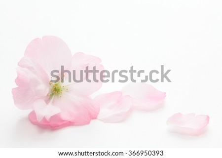 Closeup of Cherry blossom, Asahiyamazakura  - stock photo