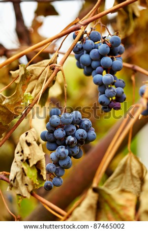 Closeup of clusters of ripe blue grapes on a vine - stock photo