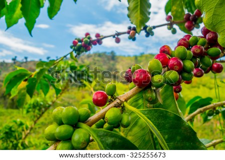 Closeup of coffee fruit in coffee farm and plantations in Manizales, Colombia - stock photo
