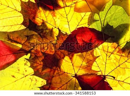 Closeup of Colorful Autumn Leafs  - stock photo