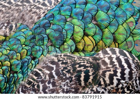 Closeup of colorful peacock feathers - stock photo