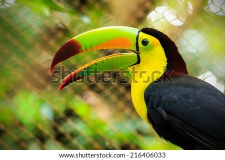 Closeup of colorful toucan bird somewhere in Mexico - stock photo
