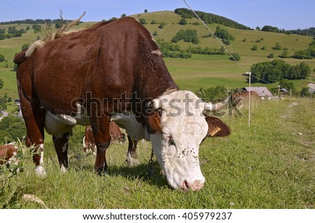 Closeup of cow grazing in the French Alps in the Haute-Savoie department in the Rhone-Alpes region in south-eastern France. - stock photo