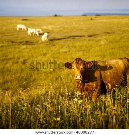 Closeup of Cow In Field with Other Cows in Background - stock photo