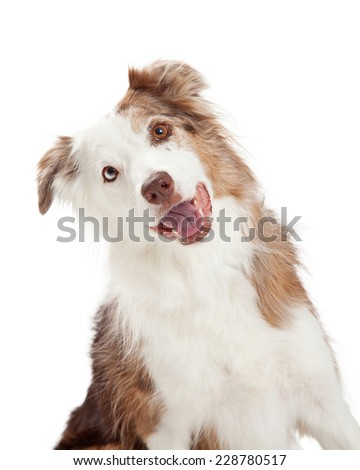 Closeup of curious Border Collie Dog with tilted head and open mouth.  - stock photo