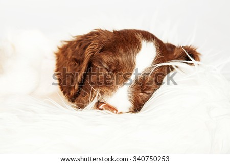 Closeup of cute English Springer Spaniel puppy sleeping on fur over white background - stock photo