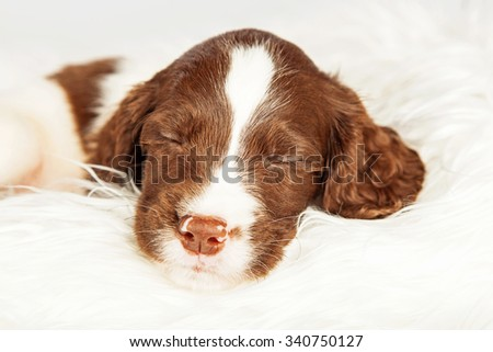 Closeup of cute English Springer Spaniel sleeping on fur over white background - stock photo