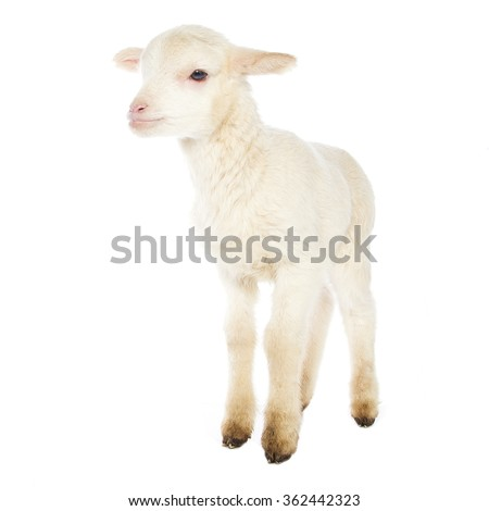 Closeup of cute lamb on the white background - stock photo