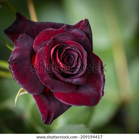 Closeup of dark red rose Black Baccara in garden - stock photo