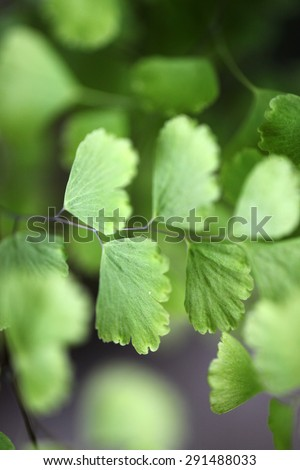Closeup of delicate Maiden Hair Fern - stock photo