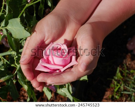 closeup of dirty child's hands holding delicate pink rose in garden - stock photo
