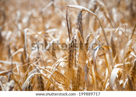 Closeup of dry wheat in a field - stock photo