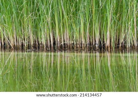 closeup of dwarf cattail reed mirroring in a swimming pond - stock photo