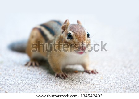 closeup of eastern chipmunk looking at the viewer - stock photo