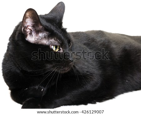 closeup of entire black cat laid down over white background, looking to the right side - stock photo