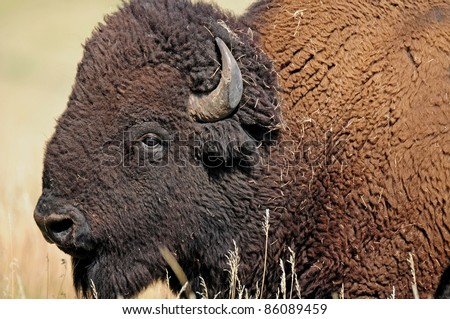 Closeup of face of American buffalo, bison, at Custer State Park in South Dakota - stock photo