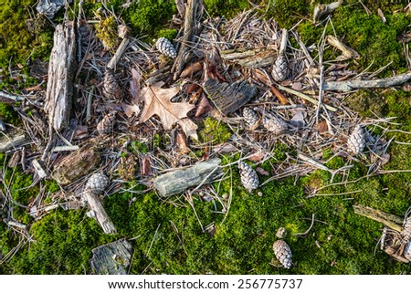 Closeup of fallen leaves, sticks and pine cones between the green moss on the floor of a forest on a sunny day in the winter season. - stock photo