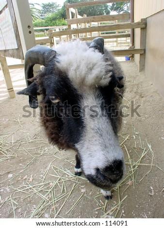 Closeup of farm animal - stock photo