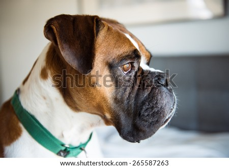 Closeup of Fawn Colored Pure breed Boxer Dog Looking Outside  - stock photo