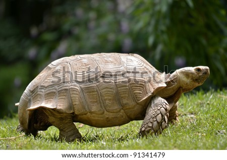 Closeup of female African Spurred Tortoise (Geochelone sulcata) seen of profile and walking on grass - stock photo