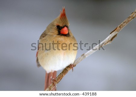Closeup of female cardinal - stock photo
