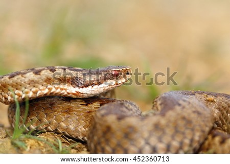 closeup of female crossed european viper in natural habitat ( Vipera berus ) - stock photo