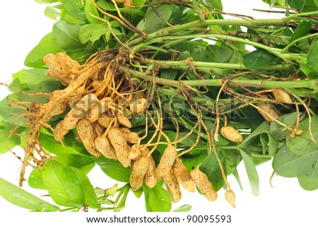 Closeup Of Fleshly Harvested Groundnuts - stock photo