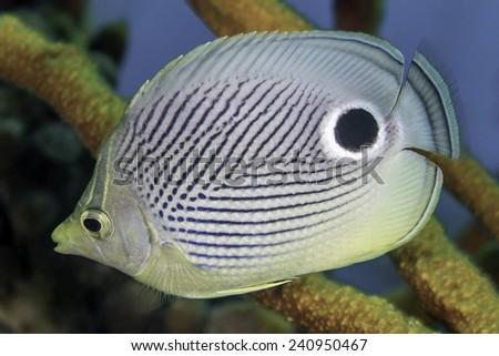 Closeup of Foureye Butterflyfish (Chaetodon capistratus) - Roatan - stock photo