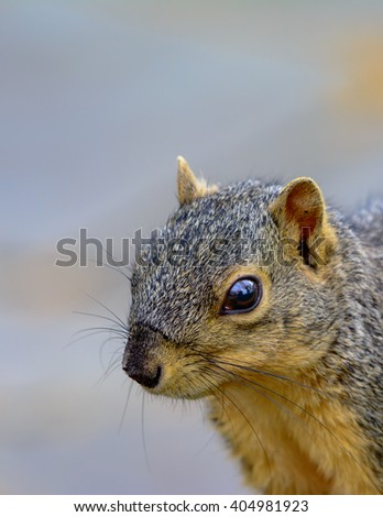 Closeup of Fox Squirrel looking toward left with copy space portrait orientation - stock photo