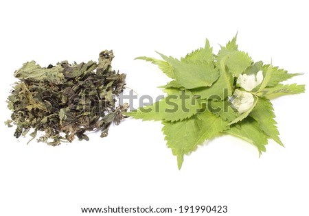 Closeup of fresh green nettle with white flowers and heap of dried nettle. Isolated on white background - stock photo