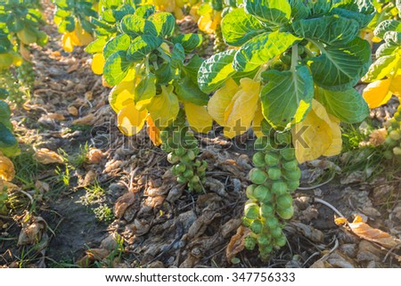 Closeup of fresh green, yellowed and withered brown leaves of Brussels sprouts plants with mature sprouts ready for harvesting. - stock photo