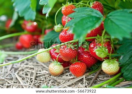 Closeup of fresh organic strawberries growing on the vine - stock photo