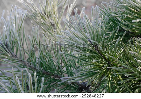 closeup of frost on  pine on sunny winter morning - stock photo