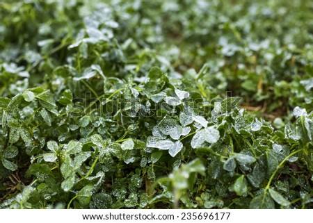 Closeup of frozen grass  - stock photo