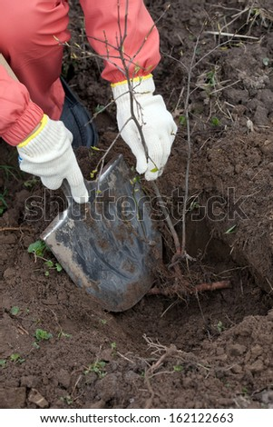 Closeup of gardener planting the tree in spring - stock photo