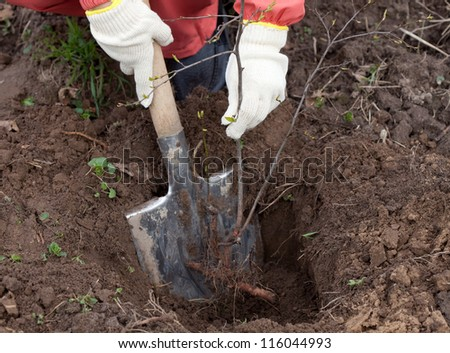 Closeup of gardener sets  bush sprouts in orchard - stock photo