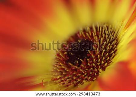 Closeup of Gerbera flower - stock photo