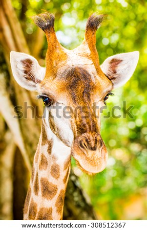 Closeup of Giraffe, Thailand. - stock photo