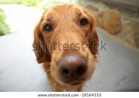 Closeup of golden retriever, DOF focus on eyes - stock photo