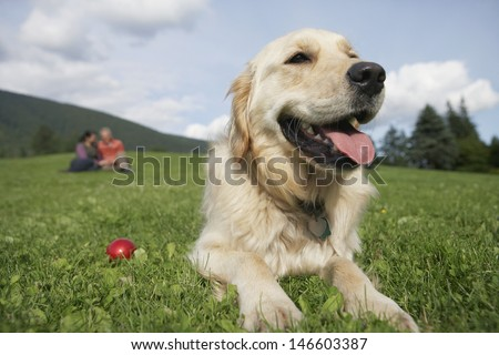 Closeup of golden retriever relaxing on grass with middle aged couple in background - stock photo