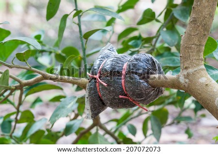 closeup of graft on lime tree branch, agricultural technique - stock photo