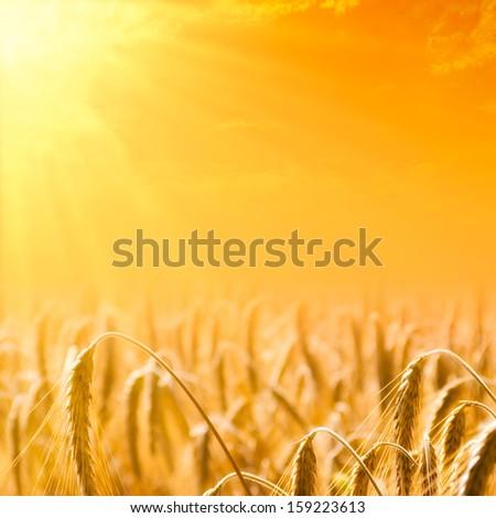 Closeup of grain field in sunlight - stock photo