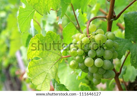 Closeup of green mellow and ripe white wine Grapes in Durnstein vineyard, Wachau Valley, Austria, Europe during summer time - stock photo