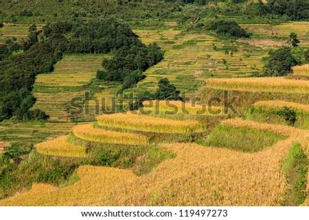 Closeup of green ripe rice terrace field - stock photo