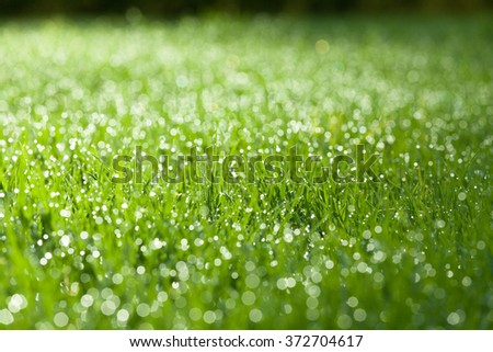 Closeup of green wet grass with dew drops bathing in morning sunlight. Shallow depth of field. - stock photo