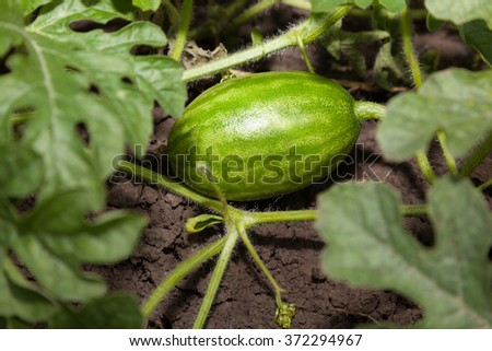 Closeup of growing watermelon fruit among leaves on farmland