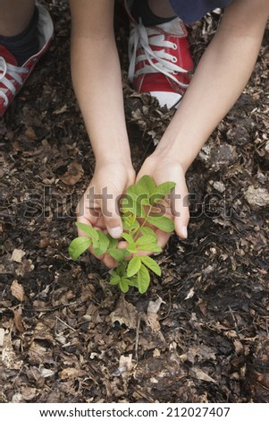 closeup of hands planting black locust tree seedling - stock photo