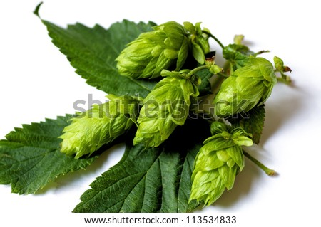 Closeup of Hops umbels on a hops leaf, Hops is one of the most important ingredients of beer. - stock photo