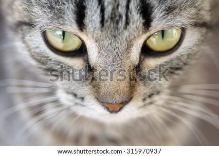 Closeup of Hypnotic Cat Eyes - stock photo