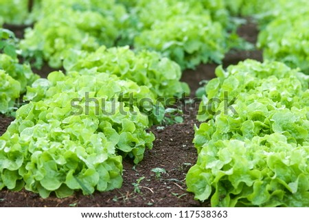 Closeup of Iceberg Lettuce in organic farm at Khunwang Royal Agriculture Station, Thailand - stock photo